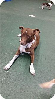 Fox Terrier (Smooth)/Terrier (Unknown Type, Medium) Mix Dog for adoption in Homestead, Florida - Rainbow