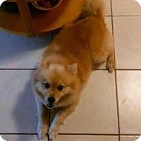 Adopt A Pet :: Rambo - Senior - Gilbertsville, PA
