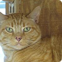 American Shorthair Cat for adoption in Unionville, Pennsylvania - Mackey