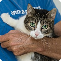 Domestic Shorthair Cat for adoption in Houston, Texas - Megan