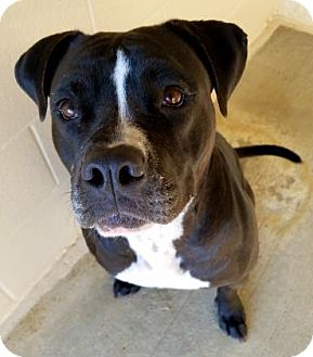 Boxer Mix Dog for adoption in Hendersonville, North Carolina - Lily