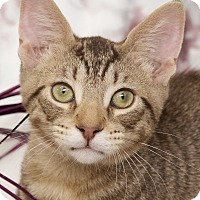 Domestic Shorthair Cat for adoption in St Louis, Missouri - London