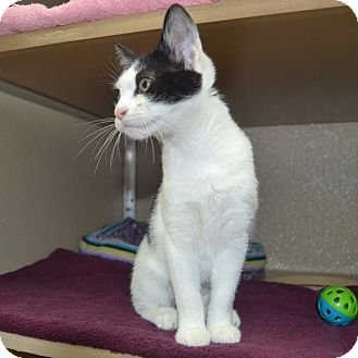 Domestic Shorthair Kitten for adoption in Wheaton, Illinois - Betty