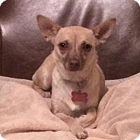 Chihuahua Mix Dog for adoption in Whitestone, New York - Mandy (Cali 15)