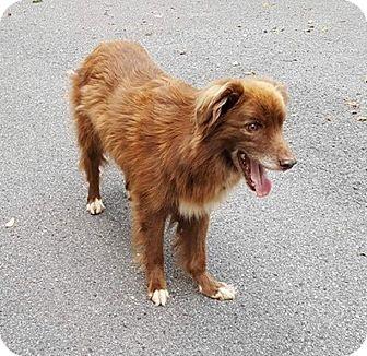 Australian Shepherd Mix Dog for adoption in Capon Bridge, West Virginia - Lester