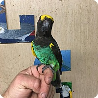 Poicephalus (including Senegal and Meyer's) for adoption in Woodbridge, New Jersey - Captain Jack