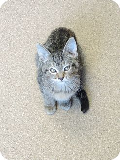 Domestic Shorthair Kitten for adoption in Brookings, South Dakota - Juicy