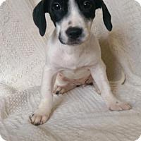 Adopt A Pet :: Dottie (MD-Kelly) - Newark, DE