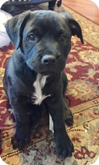 Labrador Retriever/Boxer Mix Puppy for adoption in Houston, Texas - Aspen