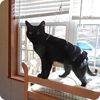 Adopt A Pet :: Onyx - Fairfax, VA
