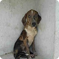 Catahoula Leopard Dog Dog for adoption in Tampa, Florida - ELIJAH BLUE (DG)