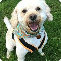"Adopt A Pet :: ""Swazey"" - Seattle, WA"