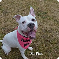 Adopt A Pet :: Mr. Pink - Independence, MO