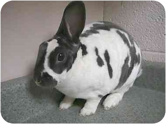 Mini Rex Mix for adoption in Newport, Delaware - Harrison