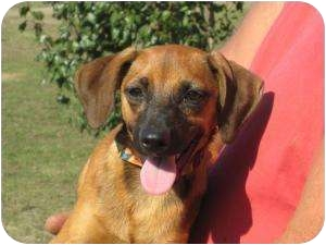 Beagle Mix Dog for adoption in Allentown, Pennsylvania - Jack