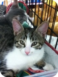 Domestic Shorthair Kitten for adoption in Riverside, Rhode Island - Meredith