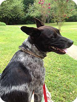 blue heeler adopted dog haughton la australian cattle dog english shepherd mix