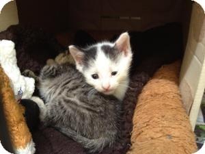 Domestic Shorthair Kitten for adoption in Island Park, New York - Nemo