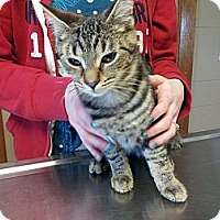 Domestic Shorthair Cat for adoption in Aylmer, Ontario - Cupid