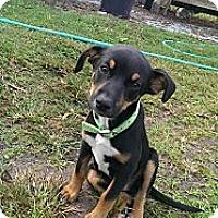 Adopt A Pet :: Chevy - Sarasota, FL
