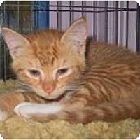 Adopt A Pet :: Nutmeg - Shelton, WA