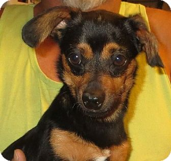 Dachshund/Chihuahua Mix Dog for adoption in Greenville, Rhode Island - Henry