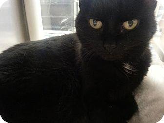 Domestic Shorthair Cat for adoption in Herndon, Virginia - Carla