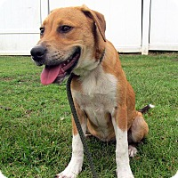 Adopt A Pet :: Lacey - Boston, MA