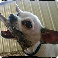 Adopt A Pet :: Phil - Johnson City, TX
