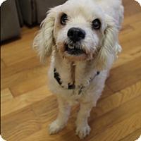 Adopt A Pet :: Marshmallow - Marietta, GA