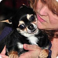 Adopt A Pet :: Cookie - Vernonia, OR
