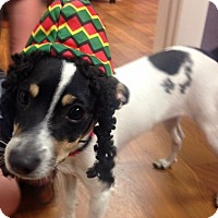 Rat Terrier Puppy for adoption in Mentor, Ohio - PETE**6-9 months & 12 lbs!!!