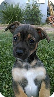 Chihuahua/Miniature Pinscher Mix Puppy for adoption in sylmar, California - Myke