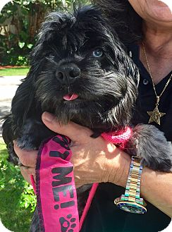 Cocker Spaniel Dog for adoption in West Palm Beach, Florida - Dixie