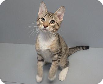 Domestic Shorthair Cat for adoption in Seguin, Texas - Obi