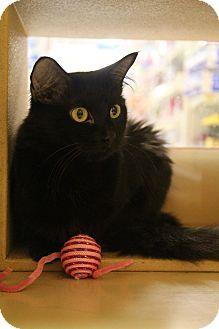 Domestic Mediumhair Cat for adoption in Richmond, Virginia - Sabrina