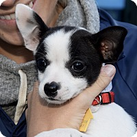 Adopt A Pet :: Nutmeg - New York, NY