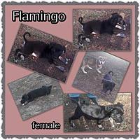 Adopt A Pet :: Flamingo - Richmond, CA