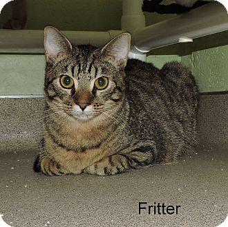 Domestic Shorthair Kitten for adoption in Slidell, Louisiana - Fritter