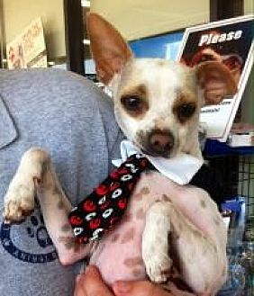 Chihuahua Mix Dog for adoption in Summerville, South Carolina - Pinto