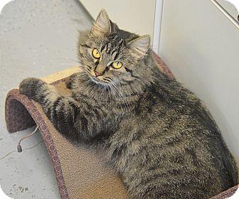 Domestic Mediumhair Cat for adoption in San Leon, Texas - Olympia