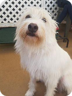 Wirehaired Pointing Griffon/Labrador Retriever Mix Dog for adoption in San Francisco, California - Daisy