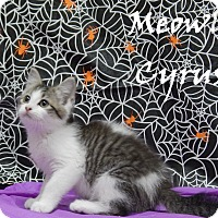 Adopt A Pet :: Meowly Cyrus - Bucyrus, OH