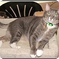 Domestic Shorthair Cat for adoption in Glendale, Arizona - Gizmo
