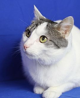 Domestic Shorthair Cat for adoption in Winston-Salem, North Carolina - Shelby