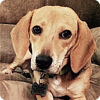 Adopt A Pet :: Daphne - Houston, TX