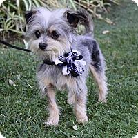 Adopt A Pet :: JOEY - Newport Beach, CA