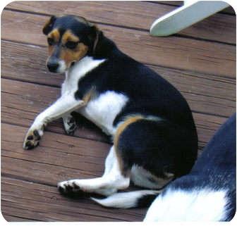 Beagle Mix Dog for adoption in Little River, South Carolina - LuLu