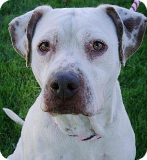 Pointer/German Shorthaired Pointer Mix Dog for adoption in Red Bluff, California - Birdie-URGENT