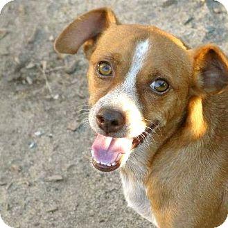 Dachshund/Corgi Mix Dog for adoption in san diego, California - Tonka !